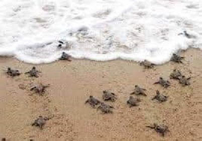 Tortugas arriban a playas de Oaxaca
